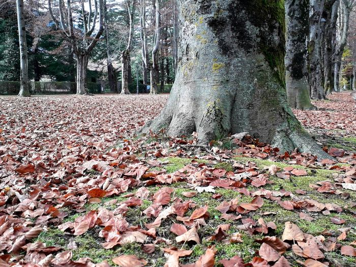 Trobadainstagramers Camprodon Girona Catalunya Catalonia Ripolles Passeig Maristany Tree Leaf Autumn Close-up