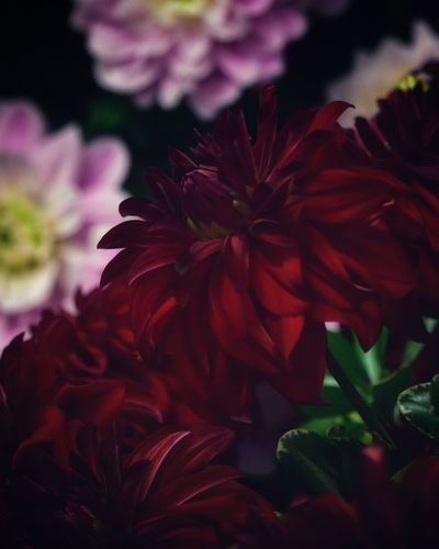 Dahlia Dahlia Flowers Dahlia Flower Background Backgrounds Flower Flowering Plant Plant Vulnerability  Fragility Close-up Beauty In Nature Growth Petal Freshness Flower Head Inflorescence Nature Red No People Leaf Focus On Foreground Plant Part Outdoors Day