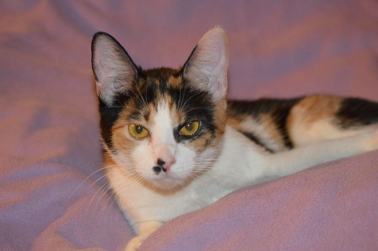 Frida - Young calico cat. Whiskers Lavender Color Calico Calico Cats Are Special Domestic Cat Pets Domestic Animals Portrait Looking At Camera Feline Animal One Animal Indoors  No People Lying Down Cute Animal Themes Close-up Alertness