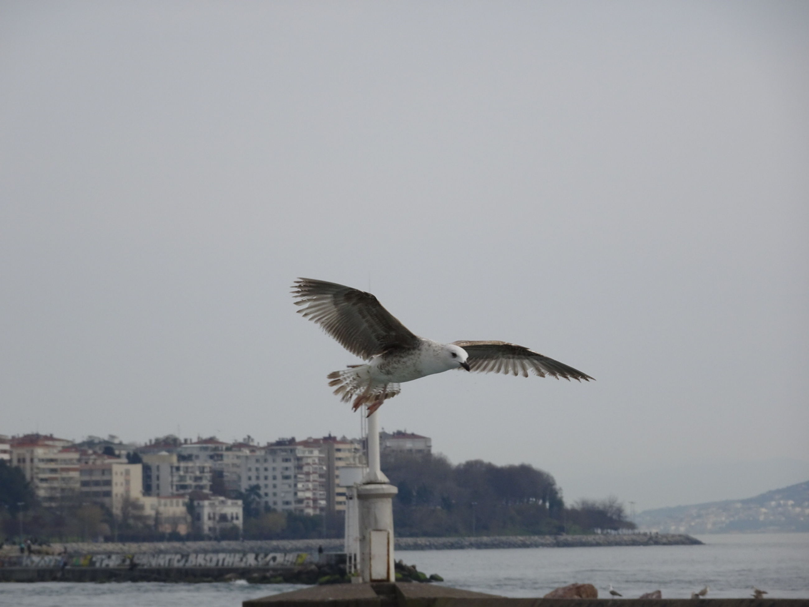 bird, animal themes, animals in the wild, seagull, wildlife, one animal, flying, spread wings, water, clear sky, sea, copy space, mid-air, perching, nature, side view, day, full length, sea bird, built structure