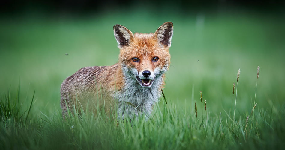 Portrait Of Fox Standing On Grass