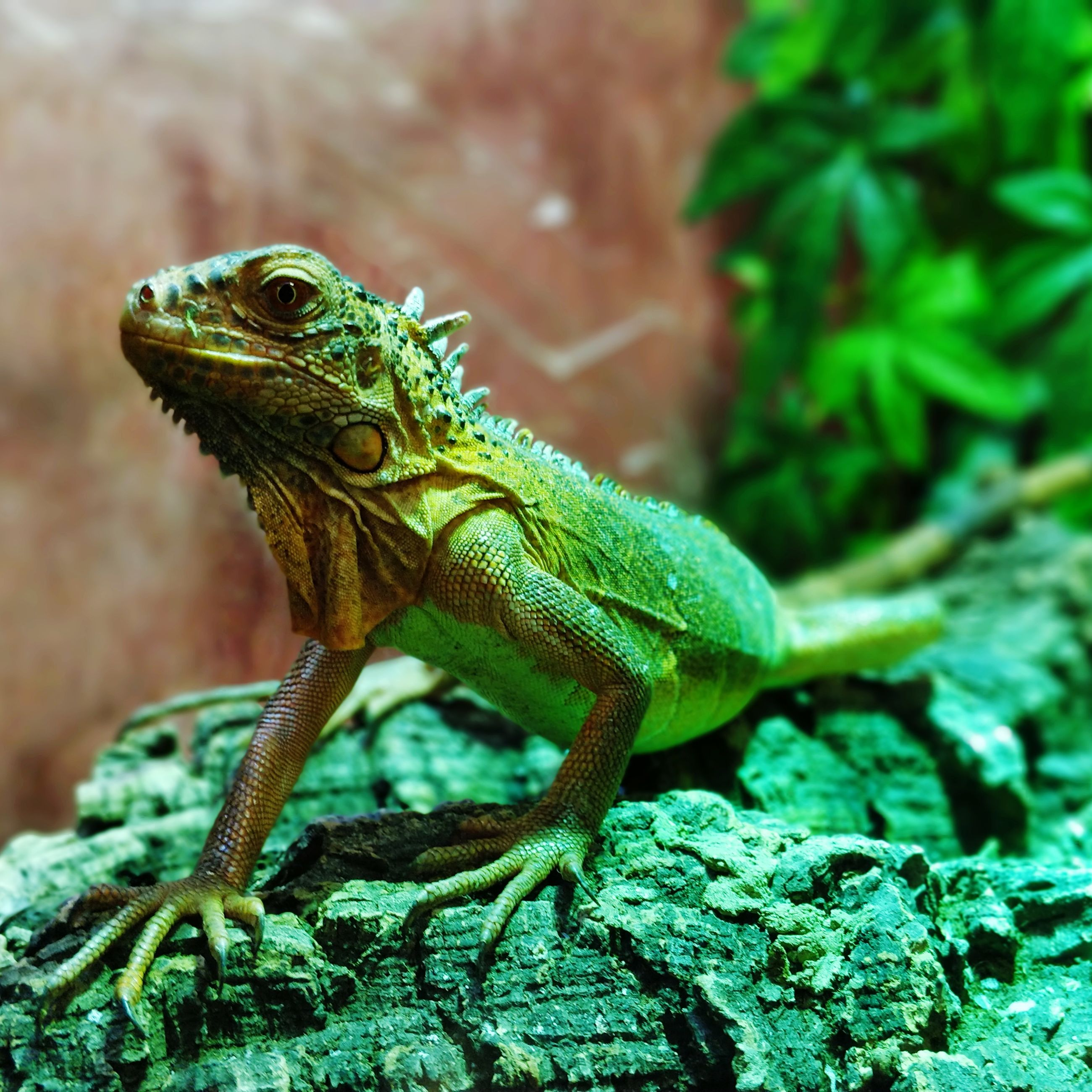 animal themes, animals in the wild, one animal, animal, animal wildlife, reptile, green color, lizard, vertebrate, focus on foreground, close-up, no people, nature, day, rock - object, rock, animal body part, outdoors, solid, looking away, animal head, iguana, animal scale