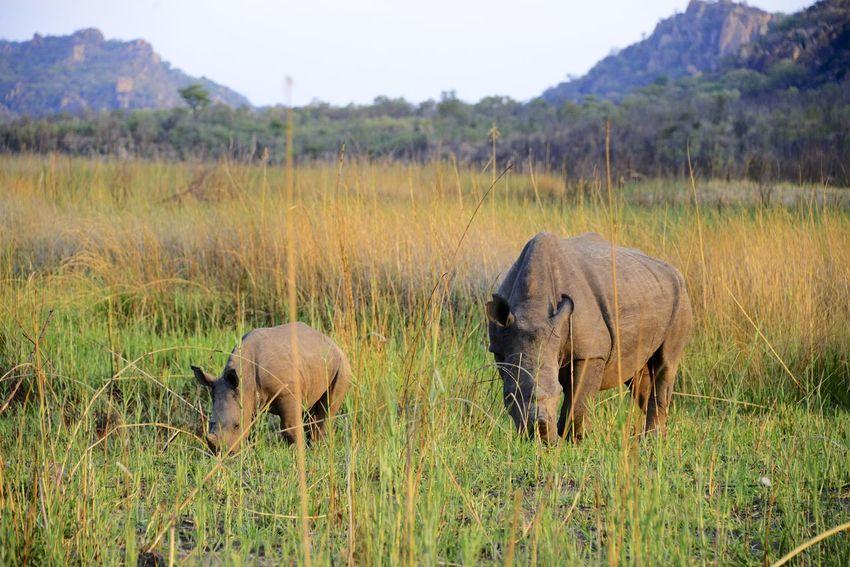 White Rhinos in Rhodes Matopos National Park MatopoHills National Park Rhodes UNESCO World Heritage Site Wildlife & Nature Wildlife Photography Zimbabwe Africa Rhino Rhinoceros Rhodes Matopos National Park Safari Safari Animals Unesco White Rhino Wildlife