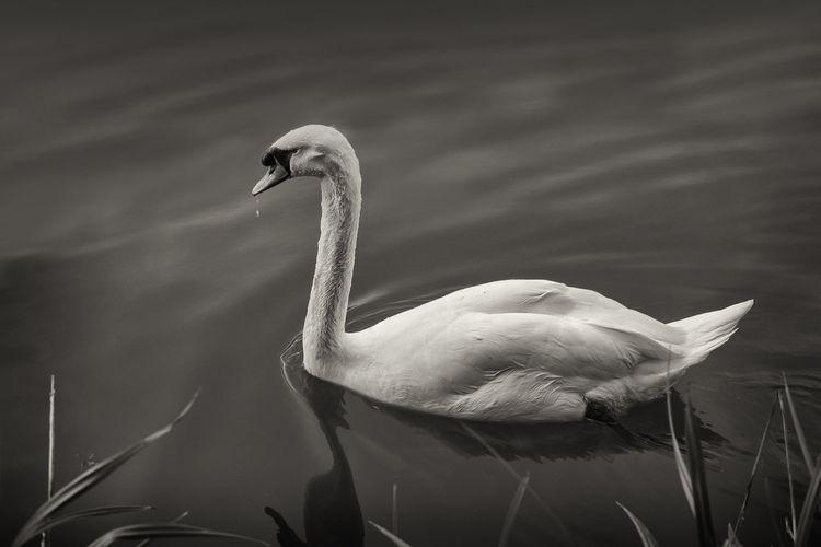 a lone swan on the river Avon in Bath. Avon Blackandwhite Monochrome Photography River Streetphotography Swan