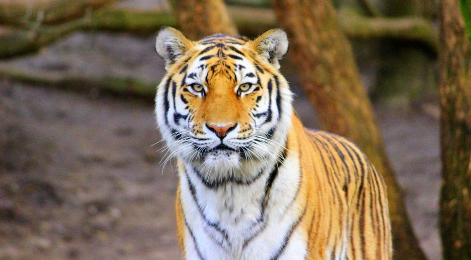 Portrait Of Tiger At Zoo