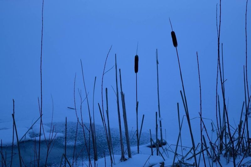 Nature Cattails Winter Snow