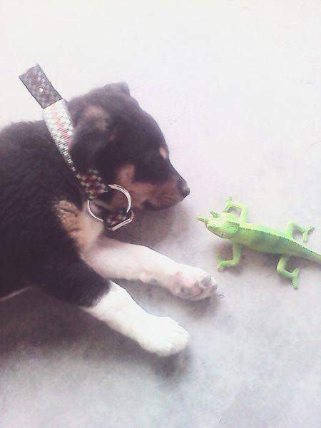 Pets Dog Toy Toyphotography One Animal Mammal Animal Themes Dogs Playing  Dogs Playing Together Animal Sleeping