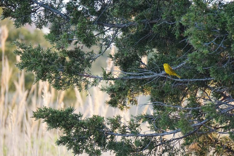 Yellow Warbler Juniper Trees Growth Tree Nature Day Outdoors No People Beauty In Nature Birds Of EyeEm  Connecticut Bird Bird Photography Perching