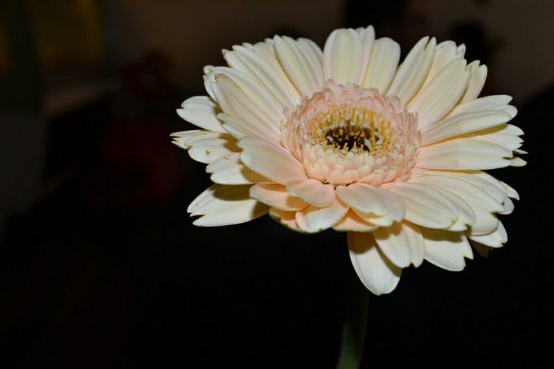 Flowers Gerbera in the shades Flower Against Dark Background Just One Flower One Flower Single Object Single Flower Pale Flower Light Pink Light Pink Flower