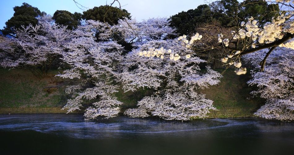 Blooming. Taking Photos Canon Pink Flowers Water_collection Landscape EyeEm Nature Lover Cherry Blossoms Tokyo Beautiful 千鳥ヶ淵 桜