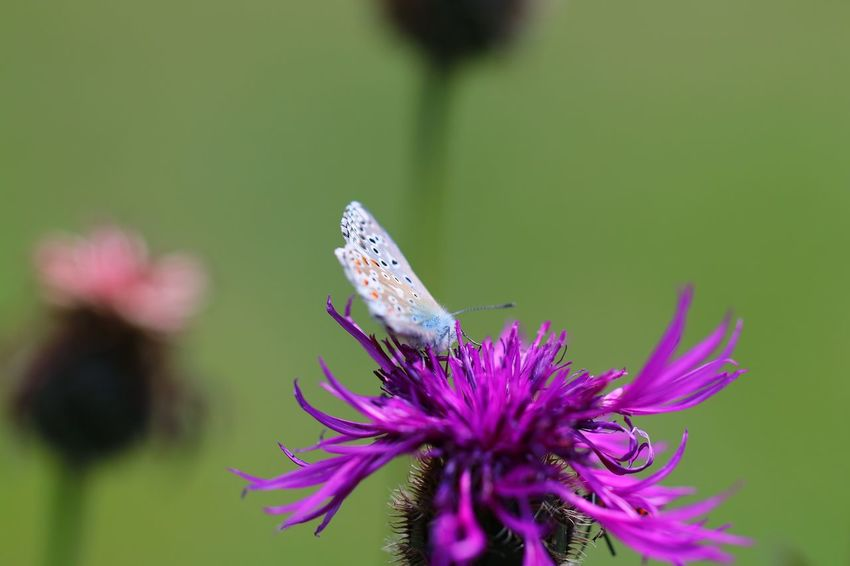 Flower Perching Spread Wings Full Length Butterfly - Insect Insect Conformity Purple Close-up Animal Themes