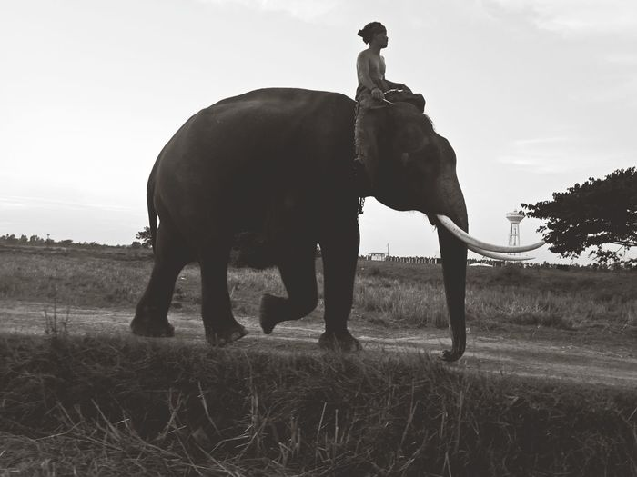 Mahout and elephant in Surin province Thailand. ASIA Thailand Nature Animal Mahout Ride Elephant Tree Bonding Horse Sky Grass Landscape Sunset Sun Grooming Silhouette Elephant Calf Tusk Sunrise Animal Trunk Idyllic Streaming Trunk Safari Outline