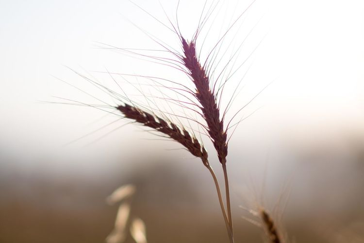 Agriculture Beauty In Nature Cereal Plant Close-up Crop  Day Ear Of Wheat Field Food Fragility Freshness Growth Nature No People Outdoors Plant Rural Scene Rye - Grain Seed Wheat