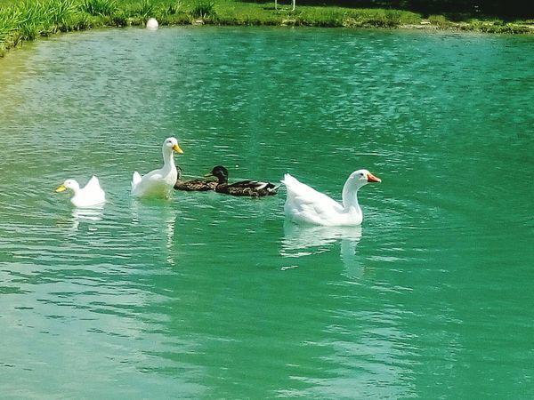 Nature Water Bird Animal Ducks In Water Bird Water Duck