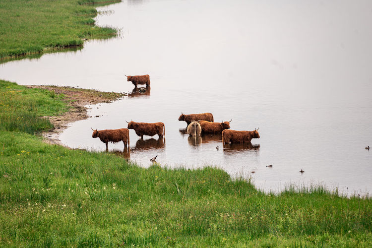 Cows standing in a lake