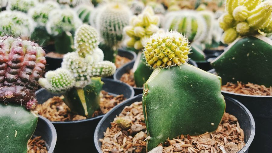 Barrel Cactus Beauty In Nature Cactus Close-up Day Flower Flower Head Fragility Freshness Green Color Greenhouse Growth Nature No People Outdoors Plant Plant Nursery Spiked Succulent Plant
