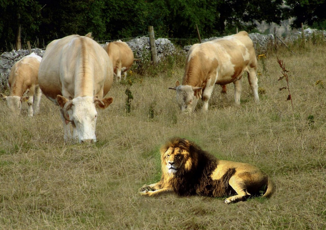 Digital Composite Image Of Lion And Cows On Field
