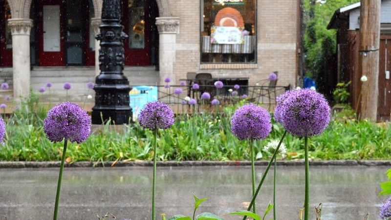 Flower Growth Nature No People Outdoors Beauty In Nature Multi Colored Freshness Purple City City Finds Pretty Flowers City Streets  St Louis Raining Raining Days