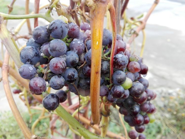 Food Stories Grapes Bunch Slowfood Rained Rain Drops Wolfzuachiv Veronica Ionita Slow Food WOLFZUACHiV Photography Veronica IONITA Photography Food Fruits Food Story Fruit Grape Food And Drink No People Day Vineyard Growth Close-up Outdoors Nature Healthy Eating Freshness