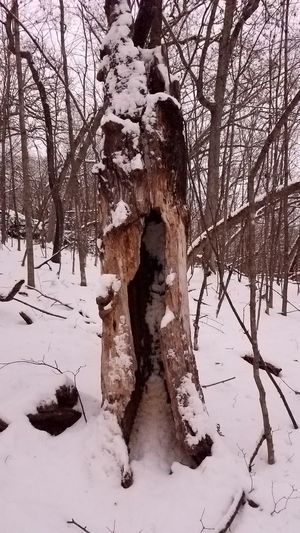 Winter Nature Snow Tree Outdoors Beauty In Nature Tree Trunk Tree Trunk, Tree, Fallen Tree Hollow Hollow Tree Forest Forest Photography Forest In Winter