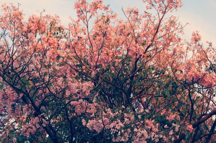 Millennial Pink Tree Beauty In Nature Spring Flowers Pink Flowers Low Angle View