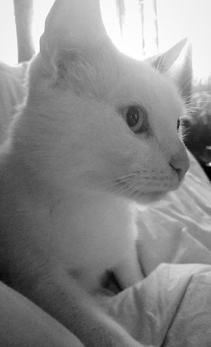 My Cat Loveher White Cat Furrball Morning Best Cat Ever Ilovecats