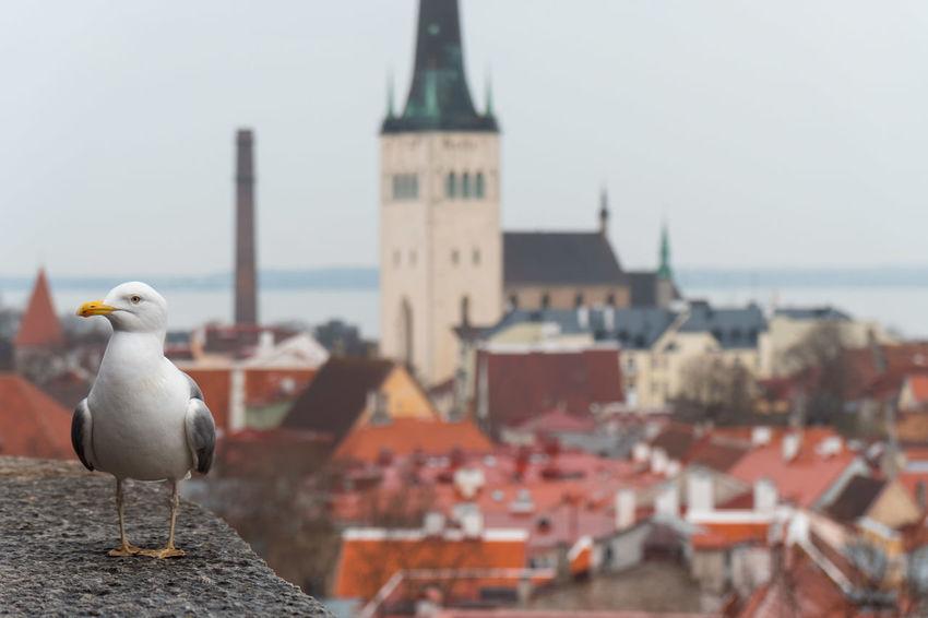 The famous Tallinn Seagull Baltic Cityscape Estonia Old Town Sightseeing Tallinn Animal Architecture Day Outdoors Sea Seagull Travel Destinations Water