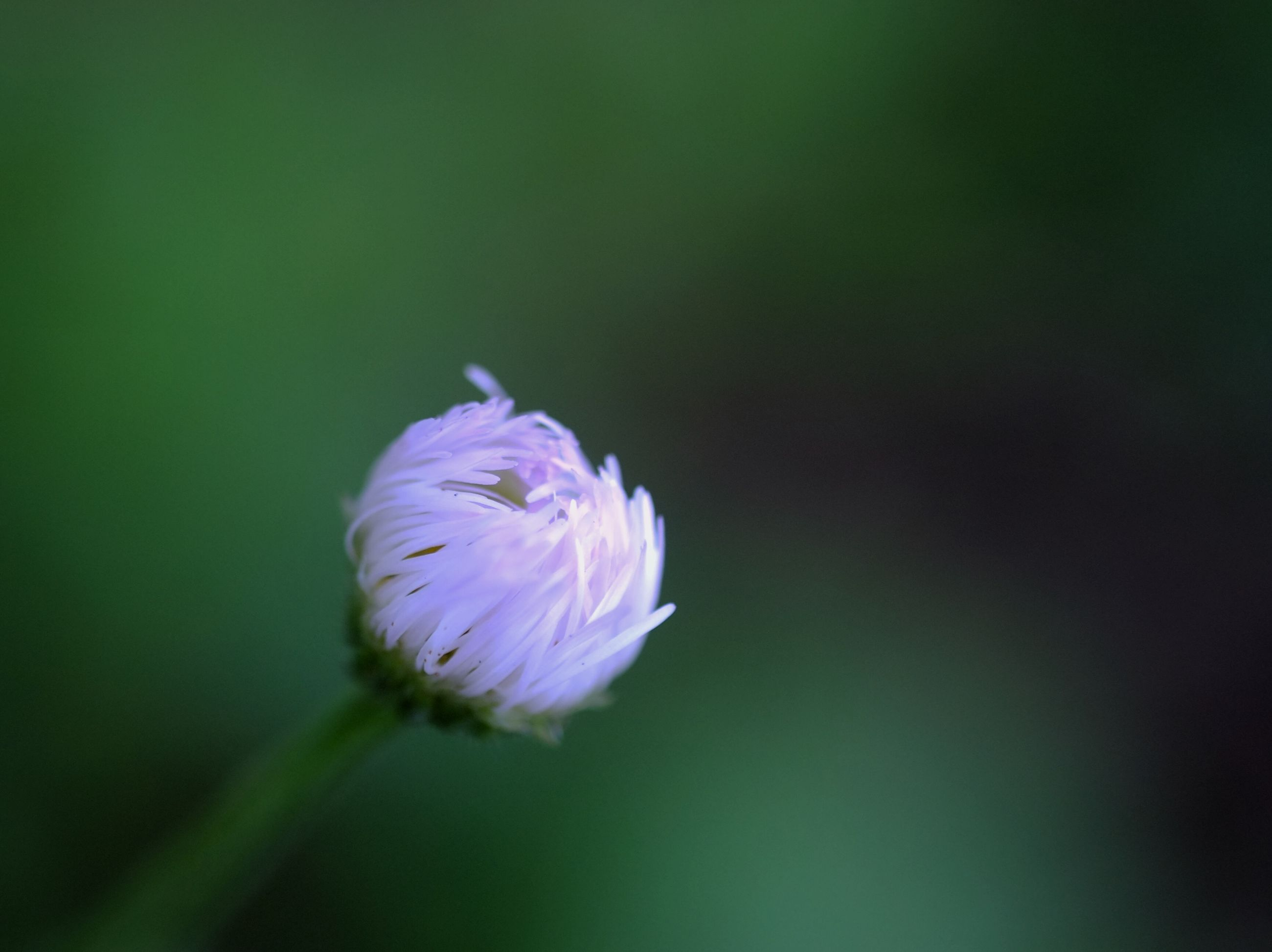 flower, petal, fragility, freshness, flower head, single flower, growth, beauty in nature, close-up, pink color, focus on foreground, blooming, nature, selective focus, stem, blossom, in bloom, plant, outdoors, purple