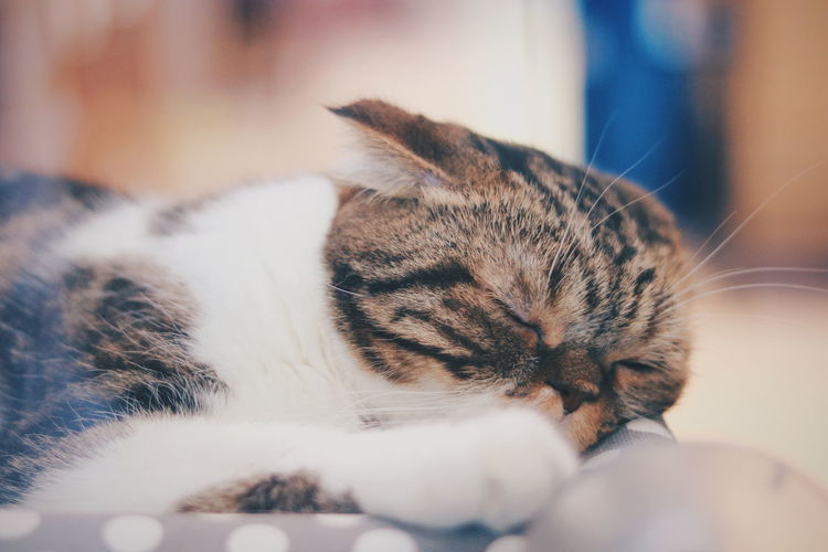 Scotishfold Pets Domestic Room Portrait Domestic Cat Cute Dog Domestic Life Home Interior Close-up Cat Tabby Cat Pet Bed Tabby Puppy Paw Kitten Stray Animal Sleeping Domestic Animals