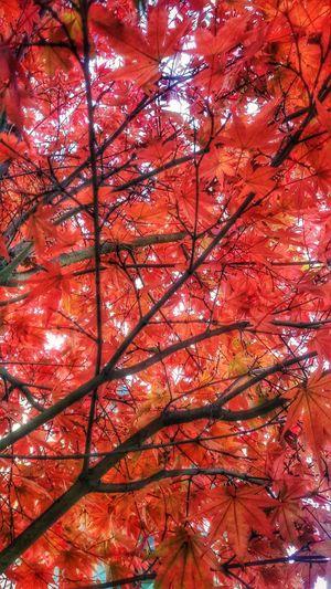 Autumn Tree Low