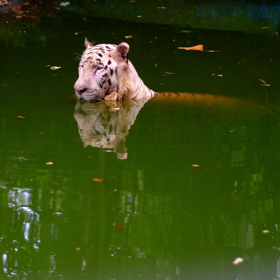 A Bengal Tiger waiting a prey Tiger Bengal Tigers Nature Wildlife EyeEmNewHere EyeEm Nature Lover Animal Animal Themes One Animal Water Reflection Lake Swimming Relaxation Animal Head