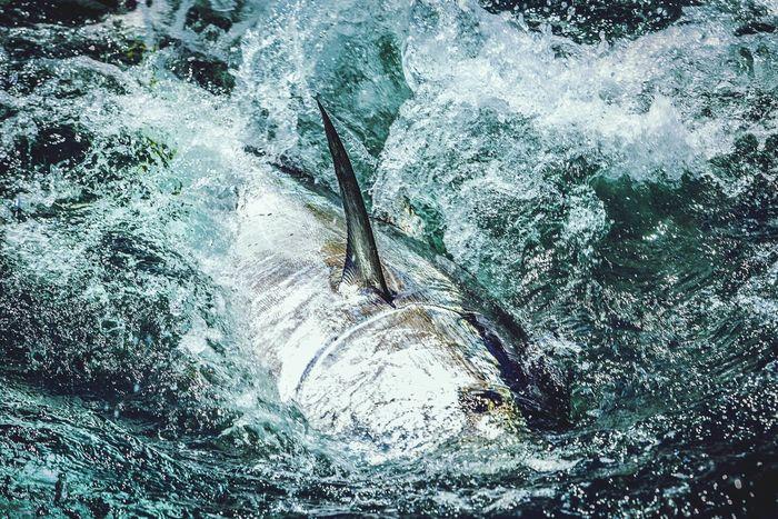 Red Tuna fishing
