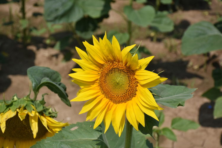 Flower Head Flower Yellow Leaf Summer Petal Multi Colored Close-up Plant Sunflower Pollen Blooming