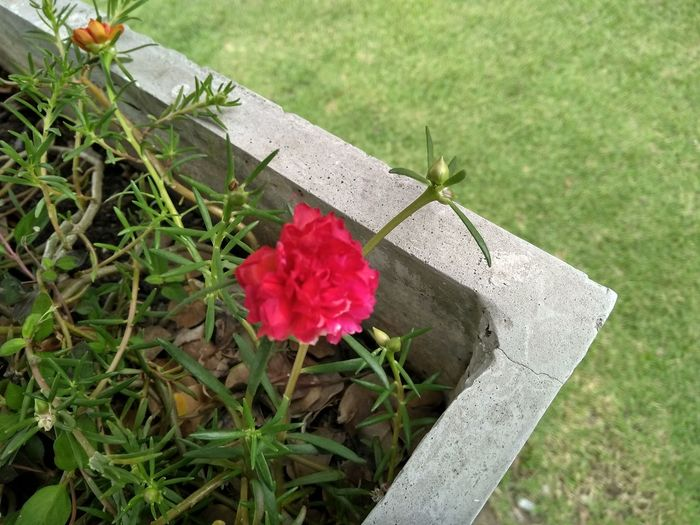 Flower Head Flower Red Leaf Poppy Grave Pink Color Close-up Grass Plant