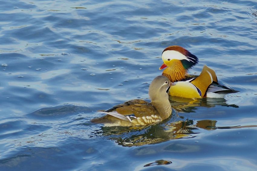 Swimming Bird Animals In The Wild Water Lake Animal Themes Animal Wildlife Water Bird No People One Animal Beak Outdoors Nature Floating On Water Day Close-up Swan Mandrin Duck Ducks Park 弘前公園 Winter Mandarin Duck Duck