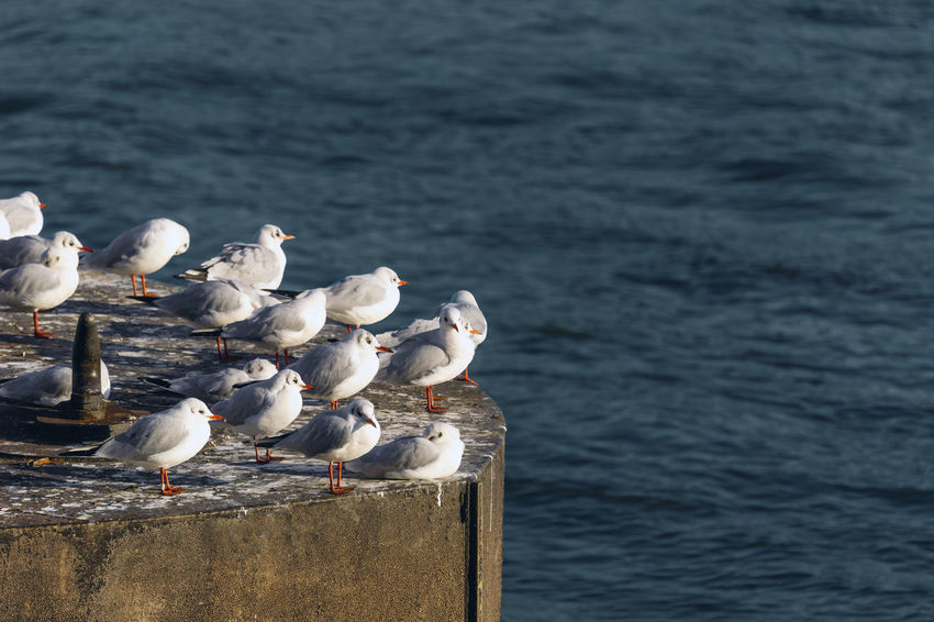 A Group of relaxing Seagulls or Gulls is sitting on a big Buoy. Flock Of Birds Ocean Color Beautiful Blue Water Gulls Gull Seagulls Seagull Group Of Birds Group Of Animals Animals Perching Relaxing Buoy Laridae Animal Wildlife Vertebrate Water Animal Sea Large Group Of Animals Nature Flock Of Birds Water Birds Birds Bird No People Outdoors Day