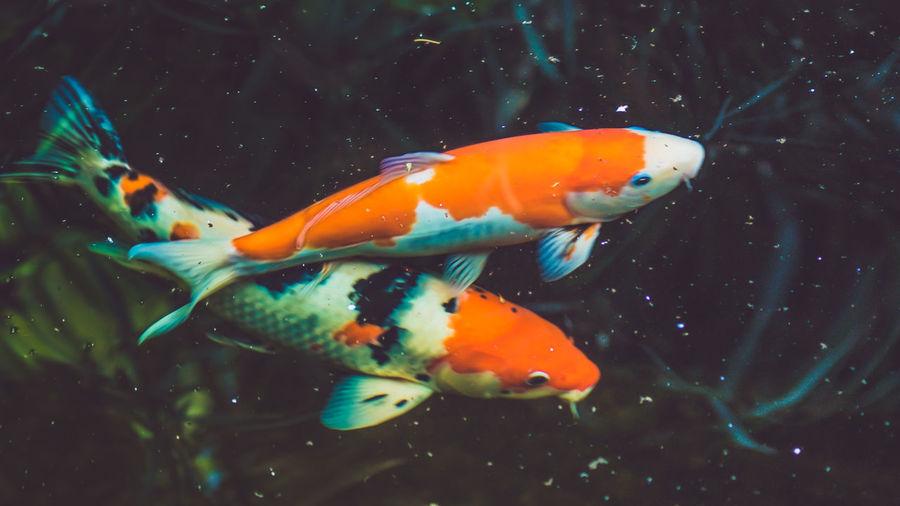 River fish Gold