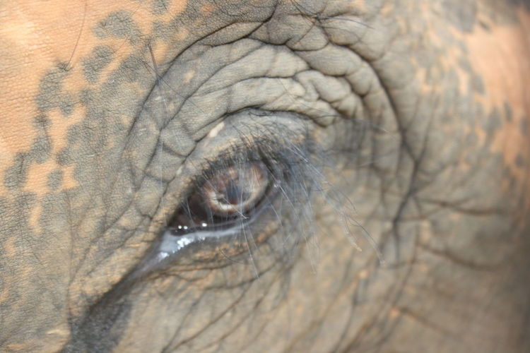 Animal Body Part Animal Themes Animal Wildlife Animals In The Wild Close-up Elephant Eyelash Full Frame Nature One Animal Outdoors