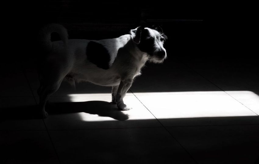 Into the light Domestic Animals Pets Dog Tiled Floor One Animal Indoors  Full Length Animal Themes Shadow Mammal Home Interior No People Day Creative Light And Shadow Beauty In Nature Jackrussell Jack Russell Dogs Of EyeEm Bnw_collection Pets Corner