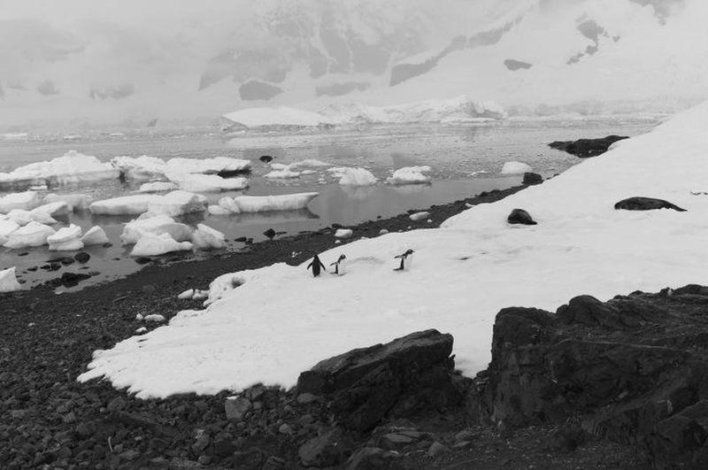 Antarctica Penguins Black And White Leica Seals