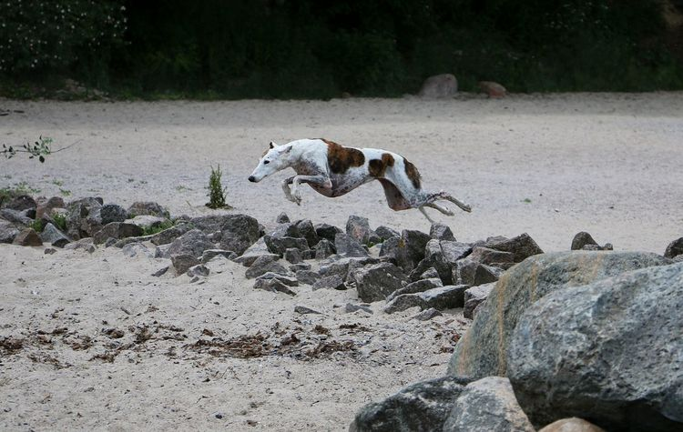 beautiful galgo is jumping over big stones at the beach Galgo Galgo Español. Ostsee Action Active Animal Themes Animal Wildlife Animals In The Wild Beach Day Eastsea Flying Full Length Galgo Espanol Galgoespañol Jumping Mammal Nature No People Outdoors Sand Sighthound Sport Stones Windhund