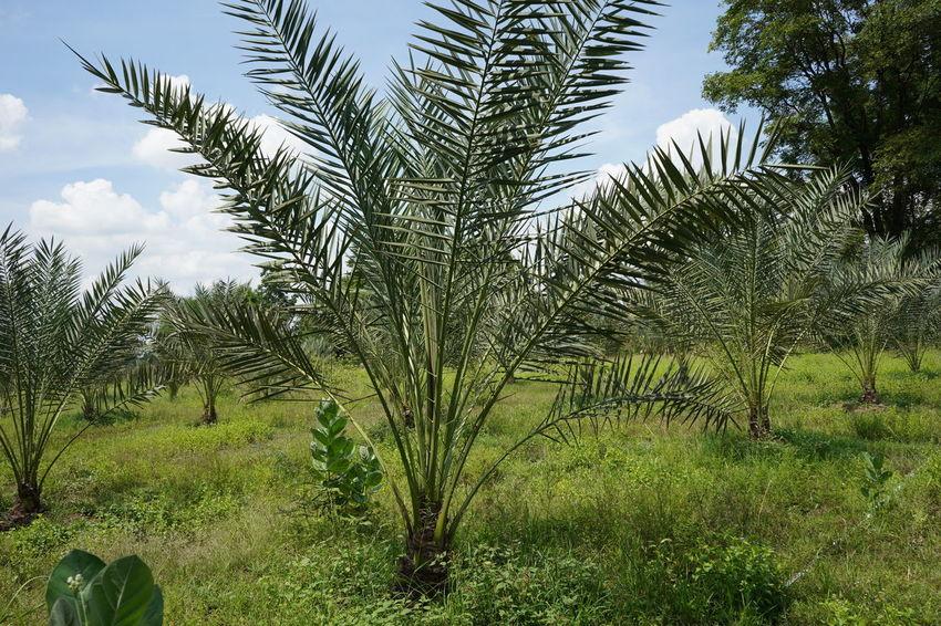 Barhi Dates Date Palm Palm Tree Date Palm Tree
