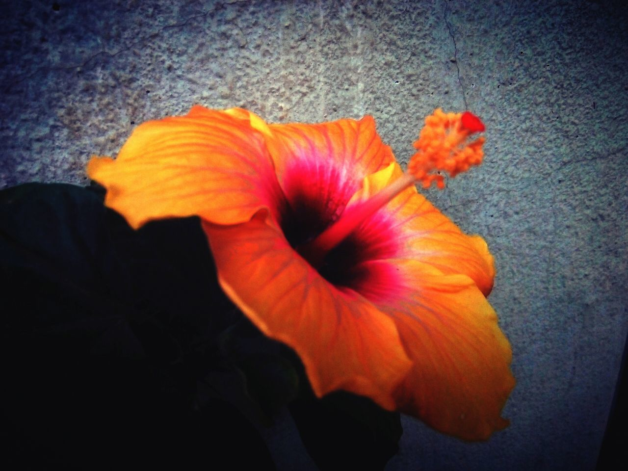 flower, petal, flower head, fragility, beauty in nature, orange color, freshness, nature, vignette, blooming, plant, growth, no people, close-up, hibiscus, day, outdoors