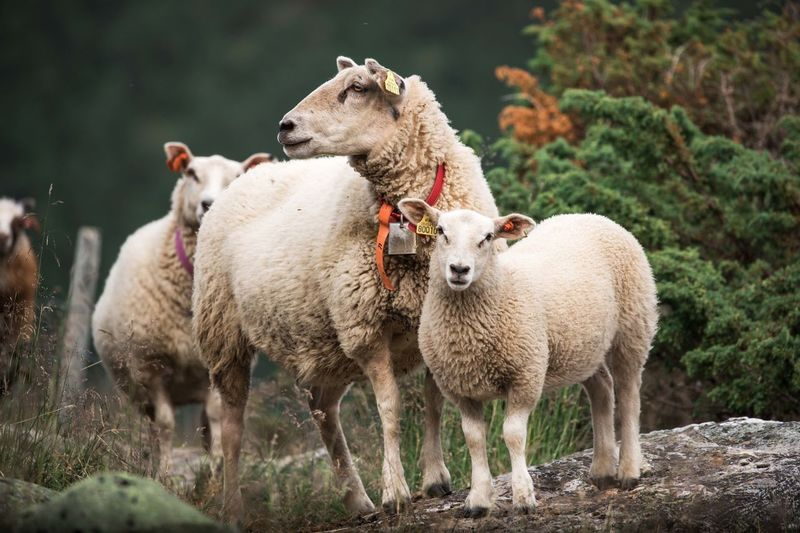 sheep on the rock Grassland Farmland Farm Agriculture Domesticanimals Domestic Animals Animal Photography Sheepherd Family Sheep Rural Scene Togetherness Livestock Lamb Flock Of Sheep Young Animal Domestic Animal Family Herd Grazing Wool