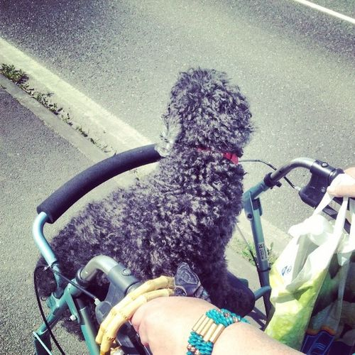 taking the dog for a walk... Lazu Dog