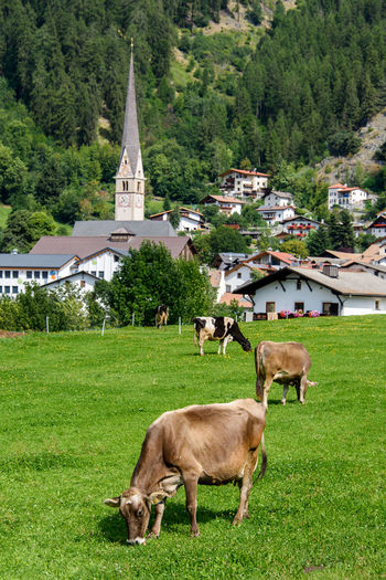 Animal Animal Themes Architecture Burgusio Cow Day Domestic Domestic Animals Field Grass Green Color Group Of Animals Herbivorous Italy Land Mammal Nature No People Outdoors Pets Plant South Tyrol Val Venosta Vinschgau