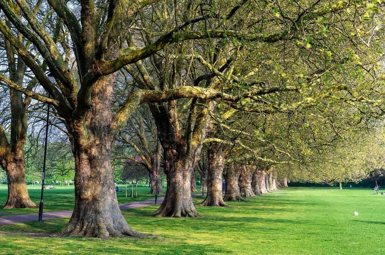 Old trees in the park Environment Tree Trunk Lawn Outdoors Park Green Color Grass Tree Field Nature Outdoors Day Growth Beauty In Nature