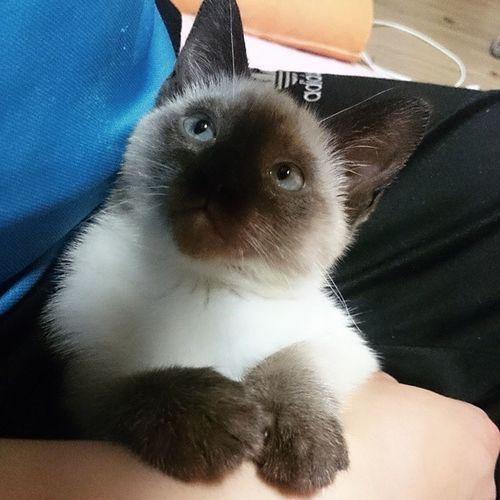 귀염귀염 일상 고양이 고냥이 냥 냥이 샴고양이 냥스타그램 고양이그램 고양이스타그램 고냥이그램 고냥이스타그램 cat