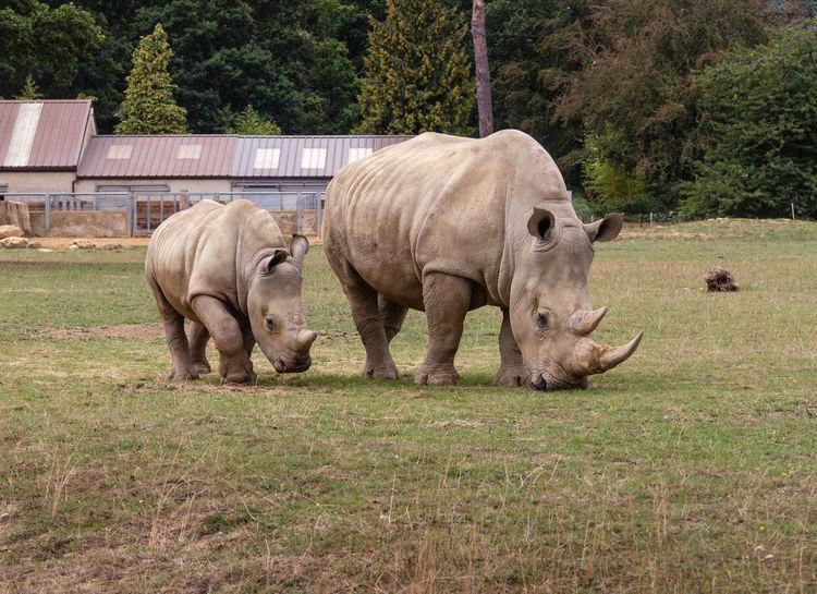 Mammal Rhinoceros Herbivorous Outdoors Vertebrate Baby Rhino And Mom Cotswold Wildlife Park Grass