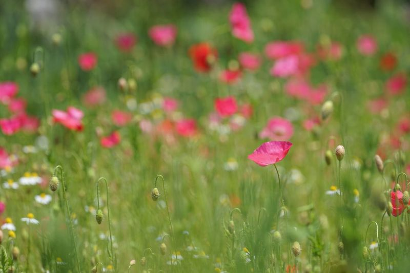 Flower Nature Growth Beauty In Nature Petal Field Grass Plant Fragility No People Freshness Blooming Outdoors Day Flower Head Poppy Red Close-up Hakubavillage Travel Destinations Poppy Flowers Summer Wildflower